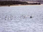 今冬首批11只大天鹅飞抵我市