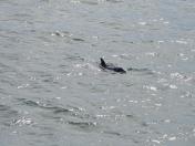 """揪心!""""稀有""""海豚""""闯""""进了石岛湾,然后……"""
