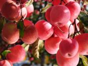 曝光!爱吃苹果的人要留意了,我也是今天才知道,看后告诉家里人!